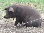 One of our six red wattle pigs