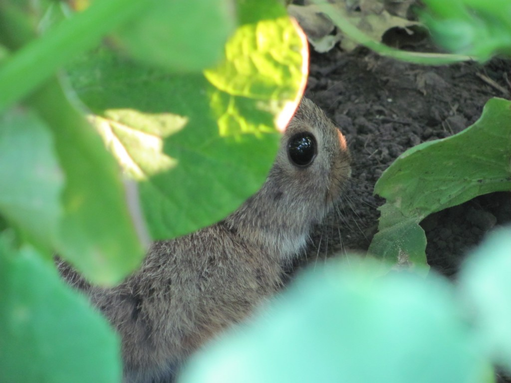 Cottontail under the squash
