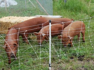 Red wattle piglets