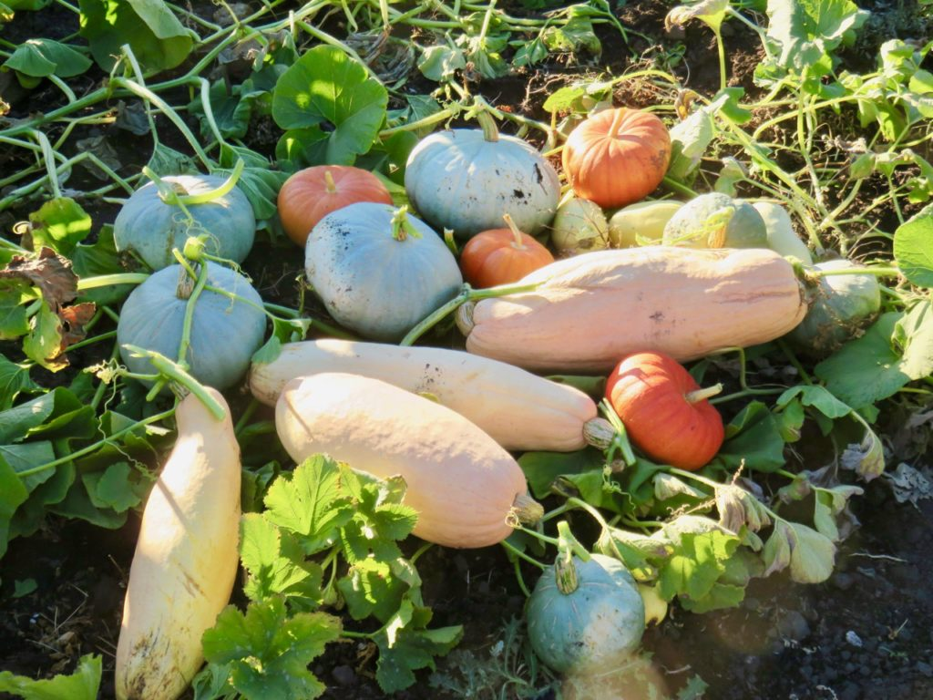 various winter squashes from 2016