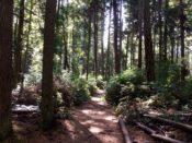 Sun-dappled trail through forest.