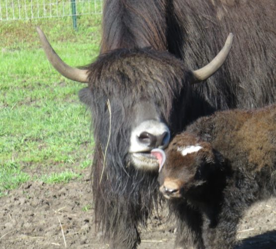 Our lead yak Dori with newborn