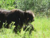 Yak cow with newborn calf