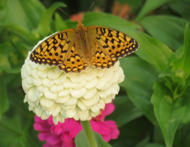 Butterfly on white zinnia