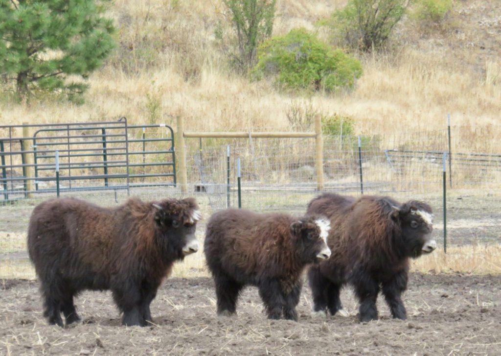 Three yak calves watching their mamas
