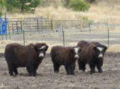 Three yak calves