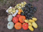 Various winter squashes
