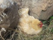 Buff Orpington hen on nest