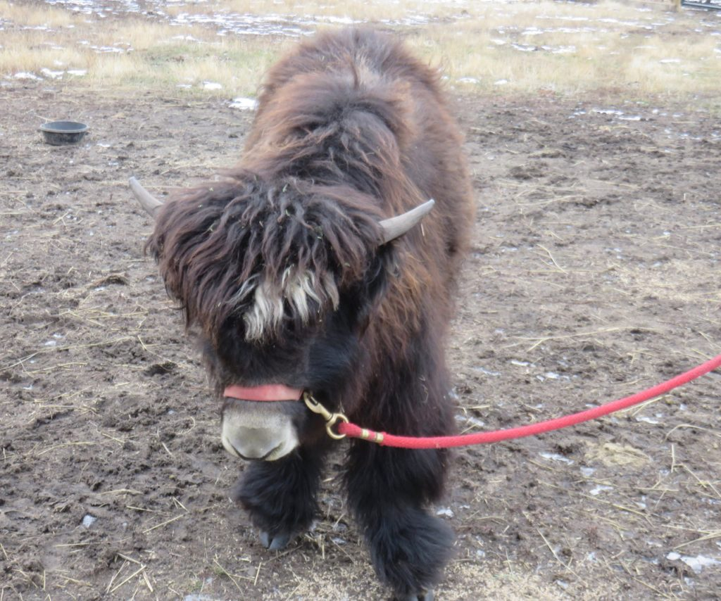 Yak calf with red halter and slack lead rope.