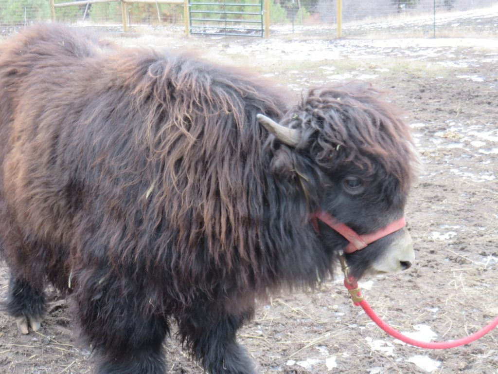 Profile of yak calf with red halter and red lead rope