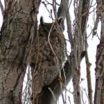 Great Horned Owls Make Strange Noises