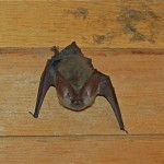 Bat in the Closet
