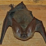 Townsend's Big-Eared Bat Hides in the Closet