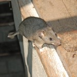 What I Loathe and Adore About the Bushy-Tailed Woodrat