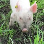 Enraptured Piglet